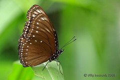 Malayan Eggfly (Lil Snoop) Tags: macro nature closeup butterfly fly butt jewel nymphalinae hypolimnas anomala t180 malayaneggfly