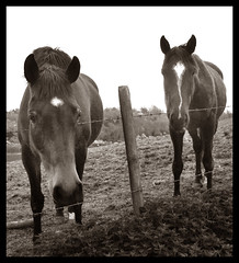 Two horses (Grumpy Old Tina 1960) Tags: uk horses horse field fence surrey barbedwire woldingham equines