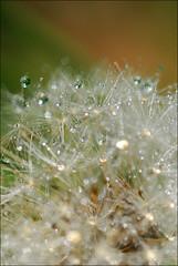 Dandelion's secret #2 (leω) Tags: macro droplets drop dandelion tamron90mm pissenlit gouttes