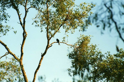 bird birds wildlife fabaceae madagascar tamarind drongo tamarindtree dicruridae dicrurus amboasary cresteddrongo dicrurusforficatus drydeciduousforest kaletareserve taxonomy:binomial=tamarindusindica taxonomy:binomial=dicrurusforficatus tamarindusindicus