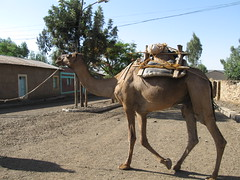 Ethiopië, kamelen