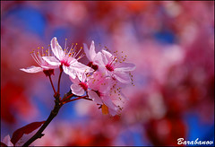 aaah, a primavera! (Miss Barabanov) Tags: pink flowers plants canada hot tree primavera nature beautiful out cherry spring nikon day bc shot britishcolumbia awesome natureza rosa sunny dia lindo burnaby rvore canad quente cerejeira ensolarado d80