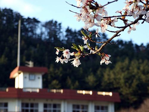 桑川小学校と桜~笹川流れ