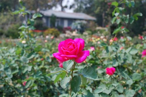 Сад роз представляет собой обширный и ухоженный сад, который идеально подходит для пикника