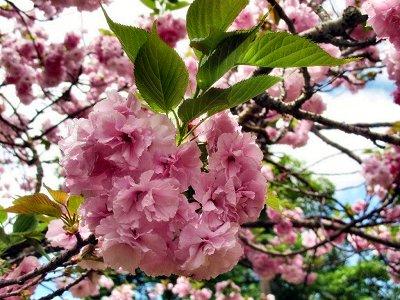 20090426-rq-Palheiro Ferreiro-4 Prunus serrulata