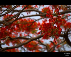 May Day (Ajith ()) Tags: blue red sky orange brown white flower tree green nature photography blood day may royal right communist u labour strike worker delonixregia fabaceae mayday coloured flamboyant employee labourday mayflower clicks ajith 1stmay poinciana gulmohar krishnachura royalpoinciana flameoftheforest ornamentaltree ajithu uajith peacockflowe malinchetabachine colouredclicks ajithphotography ajithuuphotography ajithuphotography colouredclickscom coloredcicks coloredclicks ajithuwordpresscom ajithkumaru
