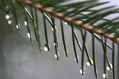 Rain in the Fir Tree 2 (LongInt57) Tags: white tree green water rain drops branch clear fir transparent needles