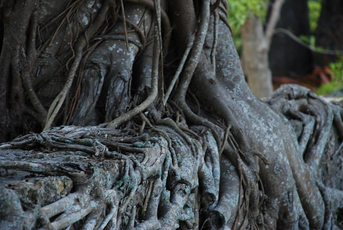 tree roots in south florida