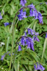 Blue Bell (Endymion non-scriptus)