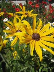 IMG_3029 Rudbeckia (gardenchien) Tags: flowers flower garden rudbeckia communitygarden blackeyedsusan schoolgarden