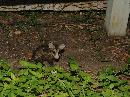 South Texas Possum 1