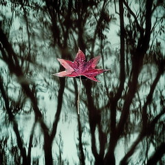 Autumn Star (Gilad Benari) Tags: autumn red abstract reflection green art nature water print poster square puddle star israel leaf different artistic  fallenleaf fallingstar      pster giladbenari minimalisim  autumnstar