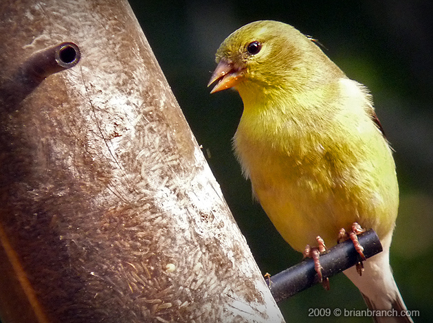 P1010534_american_gold_finch