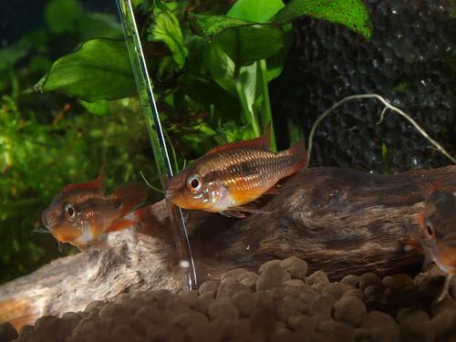 P5296929  藍體紅尾阿卡西