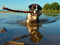 WATER BABY (bye bye baby) (kenny barker) Tags: dogs water reflections scotland canal boxer sasha reflexions diamondclassphotographer tz5 sognidreams vosplusbellesphotos daarklands spiritualtothesenses qualitygold