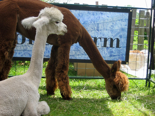 alpacas!