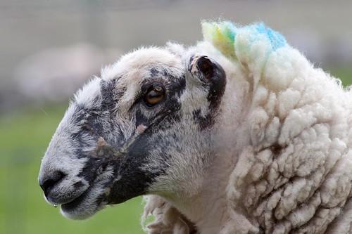 Punk sheep