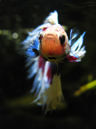 Top 7 Betta Fish Myths Don T Make These Common Mistakes With Your