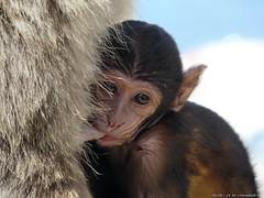 1020535 (Nemodus photos) Tags: monkey gibraltar fz50 flickrphotoaward lumixaward theperfectphotographer 攝影發燒友 flickrunitedaward