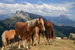 troupeau de chevaux (m-idre31) Tags: royal oliviers alquzar mallos mallosderiglos espane gypatebarbu percnoptre vautoursfauves hautaragon castillomayor alguerrosainsaembasedemdiano coldeplanacanalriovro degyptemilan