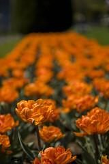 orange (mhodges) Tags: flowers colors beautiful boston wonderful garden botanical spring nikon tulips time massachusetts dramatic organge bold blooming bostonpublicgarden d700 2470mmf28g nikon2470mmf28gedifafs