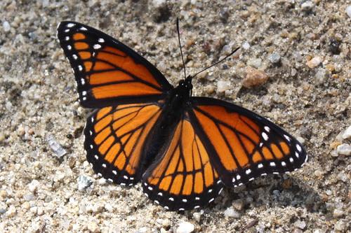 Viceroy Butterfly (Limenitis archippus) - 08