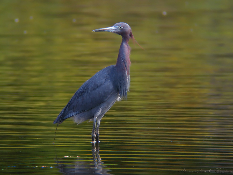 little-blue-heron-b