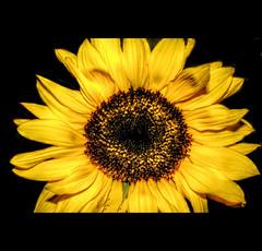 Sonnenblume (Sam ♑) Tags: summer canon sam sommer eifel sunflower bitburg sonnenblume earthasia primemacro inspiredbyyourbeauty sam8883 platinumpeaceaward