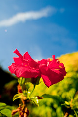 My pot hibiscus-0100 (Thomas Tolkien) Tags: flowers school copyright art sports tom digital garden photography photo education nikon thomas yorkshire d70s teacher hibiscus website creativecommons teaching tolkien northyorkshire jrr tuition potplant twitter robertbringhurst bringhurst hibiscuswonder thomastolkien tomtolkien httpwwwtomtolkiencom httpthomastolkienwordpresscom tolkienart notrelatedtojrrtolkien tolkienteacher tolkienteaching