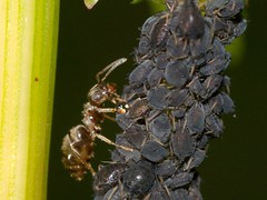 Black garden ants (Lasius niger) milking black...