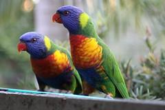 rainbow lorikeets (cskk) Tags: bird rainbow sydney australian lorikeet parrot australia rainbowlorikeet trichoglossushaematodus trichoglossus haematodus wildlifeofaustralia colourlicious trichoglosseshaematodus