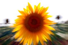 valdapozzo 2009 omaggio (.olli.) Tags: sunflower marco girasole grazie zooming diecicento diecicentosagra valdapozzo2009 occhiodivaldapozzo