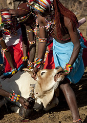 Samburu men bleeding a cow for the blood meal - Kenya (Eric Lafforgue) Tags: africa portrait people face cow blood kenya african culture tribal human tribes afrika remote tradition tribe ethnic tribo visage afrique ethnology tribu eastafrica qunia 5359 lafforgue ethnie ethny  qunia    kea    a