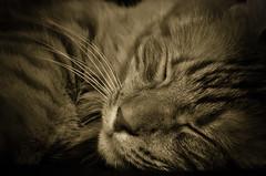 What a Life (FarCorner) Tags: life orange usa boston sepia cat relax ma nikon sleep down couch saudi arabia what nikkor lay malden ksa d300 18200mm mostash