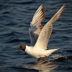 Dcollage imminent (Brestitude) Tags: bird flying brittany gull bretagne breizh vol oiseau mouette blackheadedgull finistre 200mm larusmelanocephalus porspoder mouettemlanocphale d700 presqulesaintlaurent tc20eiii