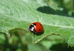 bolu-28-29haziran2008-218 (esraakeroglu) Tags: color macro nature animal ladybird ladybug joaninha coccinellidae fotografca
