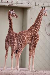 2009-02-18-13h22m37.IMG_3753l (A.J. Haverkamp) Tags: zoo rotterdam blijdorp giraffe dierentuin diergaardeblijdorp httpwwwdiergaardeblijdorpnl canonef300mmf4lisusmlens
