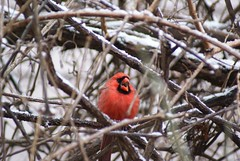 DSC01603.JPG (rhombidec) Tags: snow male cardinal tripod baltimore untouched uncropped sonydslra100 sal75300