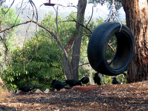 22 Feb : the currawongs are thirsty