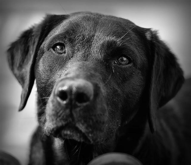 boomer (female labrador)