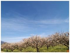 Japanese Apricot Farm 090228 #02
