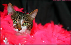 Drag Cat or Glamour Puss? (David Maury) Tags: pink cat glamour chat boa pussinboots featherboa meisie nouvellephotography dragcatorglamourpuss