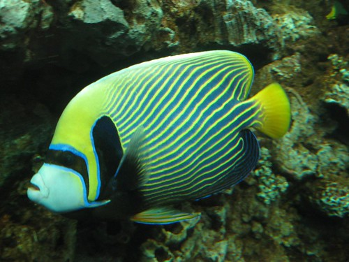 the masked one.....emperor angelfish - unbelievable colours...saw this from the shore in the red sea but did not get a good shot.....this one is in an aquarium