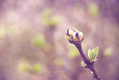 'there came a time when the risk to remain tight in the bud was more painful than the risk it took to blossom.' (The Girl Behind The Camera) Tags: flowers nature fauna outdoors spring bokeh pals foliage lilac buds bud