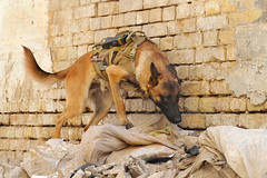 K-9 Andy (The U.S. Army) Tags: army search p
