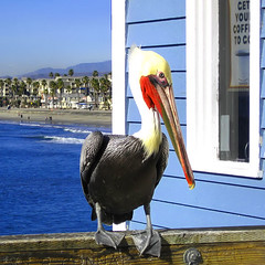 Charlie ~Still hanging ~ (Dominique Guillochon) Tags: california wood blue usa bird beach colors pier waves unitedstates couleurs sable bluesky beachlife pelican bleu oceanside railing vagues plage californiacoast oceansidepier vanagram mwqio charliethepelican