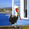 Charlie ~Still hanging ~ (Wandering Dom) Tags: california wood blue usa bird beach colors pier waves unitedstates couleurs sable bluesky beachlife pelican bleu oceanside railing vagues plage californiacoast oceansidepier vanagram mwqio charliethepelican
