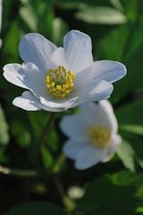 Wood Anenome (Missy2004) Tags: flower wildflower newforest nikond60 woodanenome pfogold pfosilver nikkor70300mmf4556afsifedvr