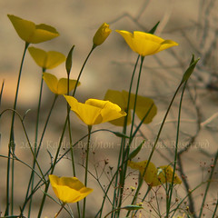 Golden Poppies grace the Chuckwalla Mountains