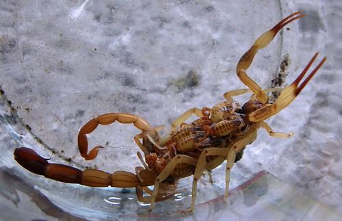 escorpion 7